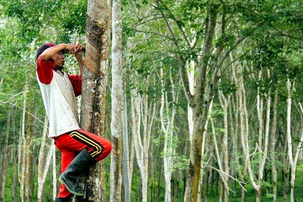 solusi pohon karet