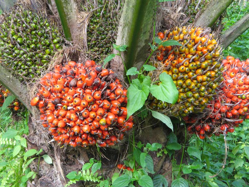 ciri buah kelapa sawit