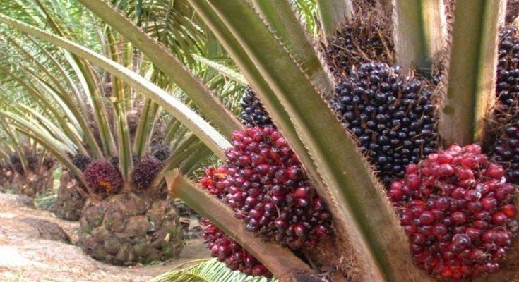 ciri pohon kelapa sawit