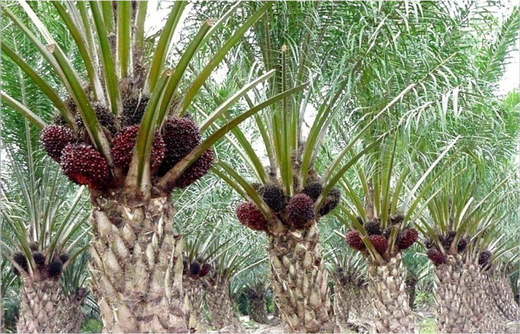 manfaat kelapa sawit bagi manusia