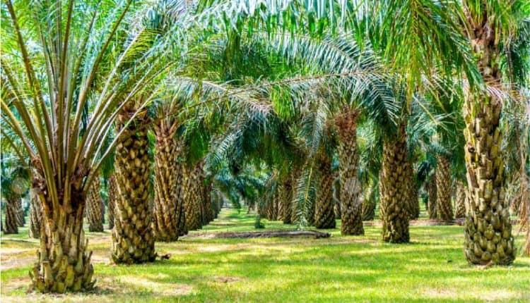 amnfaat kelapa sawit