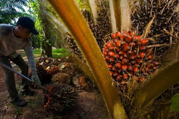 metode pemupukan kelapa sawit