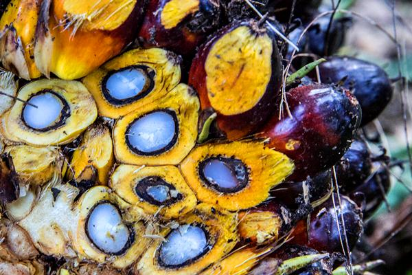 perkembangan kelapa sawit