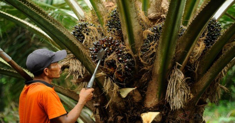 perkembangbiakan buah kelapa sawit