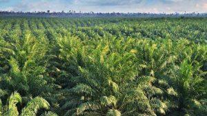 Bagaimana Mengetahui Karakteristik Pohon Sawit?
