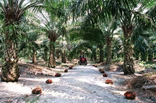 syarat penanaman kelapa sawit