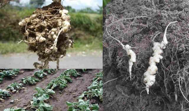 apa itu penyakit akar gada