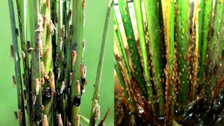 hama penggerek batang padi