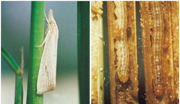 fase pertumbuhan hama penggerek batang padi
