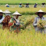 kegiatan intensifikasi padi sawah