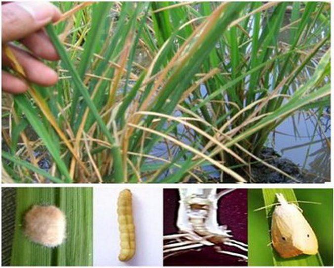 pengendalian hama penggerek batang padi