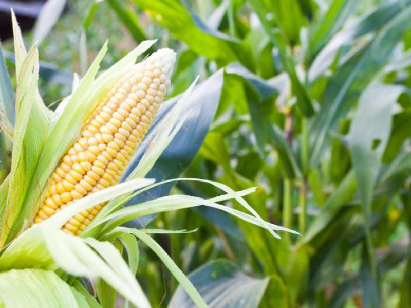 pupuk untuk jagung dari nasa