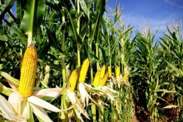 pupuk untuk jagung dan manfaatnya
