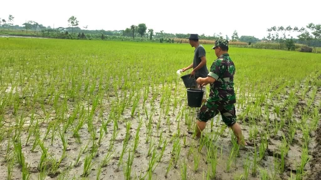 cara pemupukan padi
