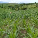 pemupukan jagung petani dari nasa