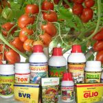 pupuk untuk tomat