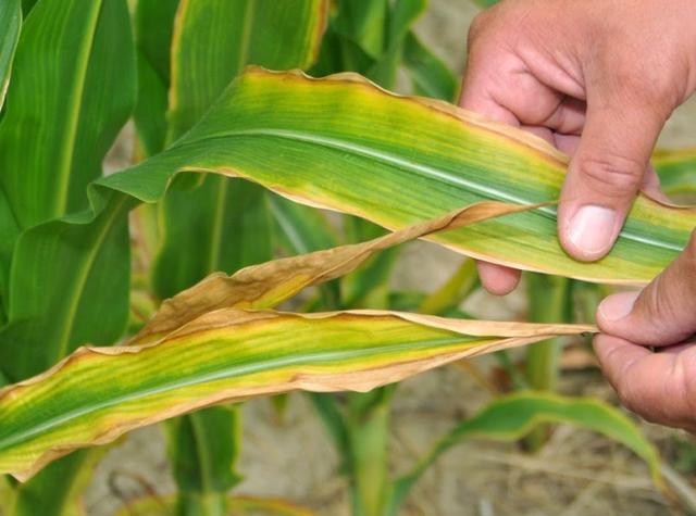 penyebab tanaman layu karena kurang di cairan