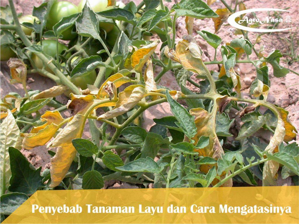 solusi tanaman layu