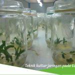 Teknik kultur jaringan pada tumbuhan