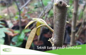 Cara Stek pada Tumbuhan dan Contohnya