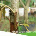 Teknik okulasi pada tumbuhan
