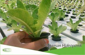 Alasan Mengapa Anda Harus Bertanam Tanaman Hidroponik dan Tips Bagaimana Memilih Benih Yang Baik