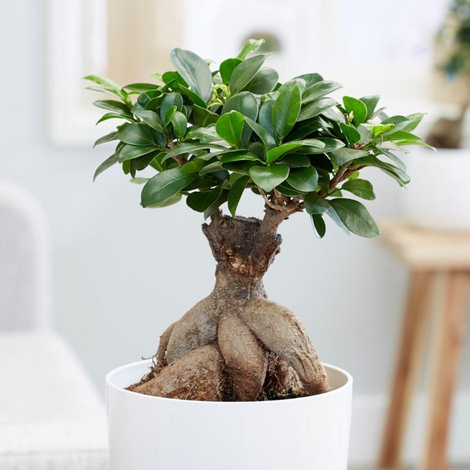 tanaman hias akar cantik
