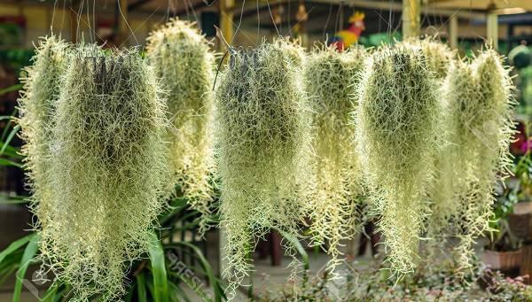 tanaman jenggot gantung putih