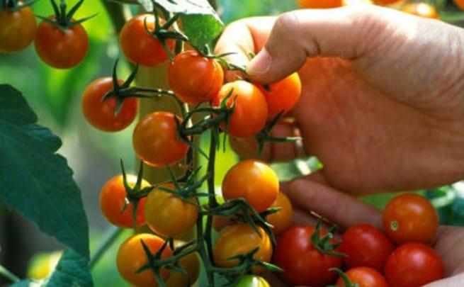 tanaman buah tomat cery