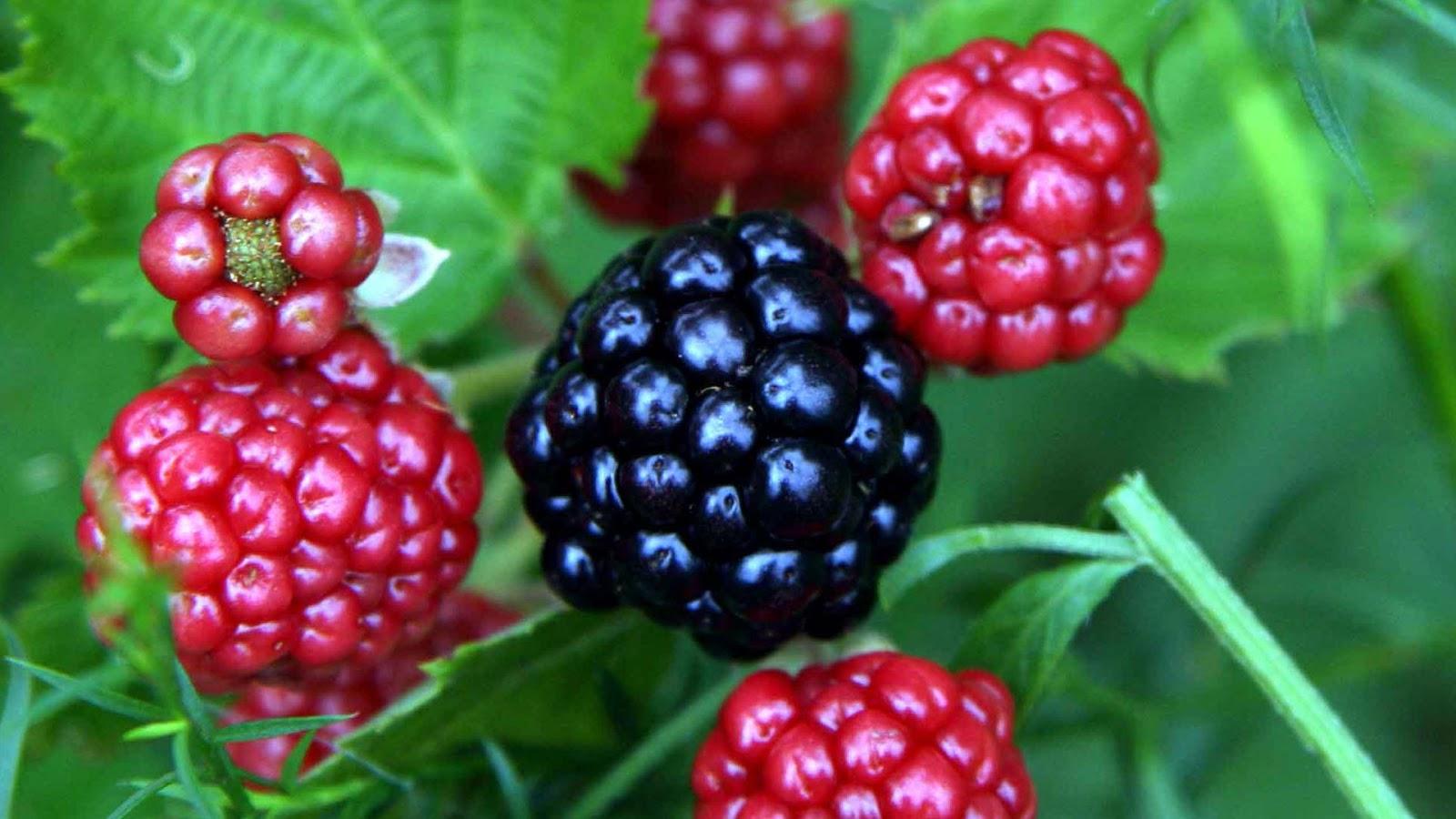 tanaman hias blackberry