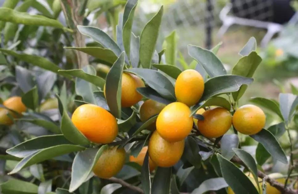 tanaman hias jeruk nagami