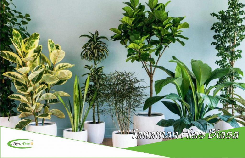 tanaman hias biasa