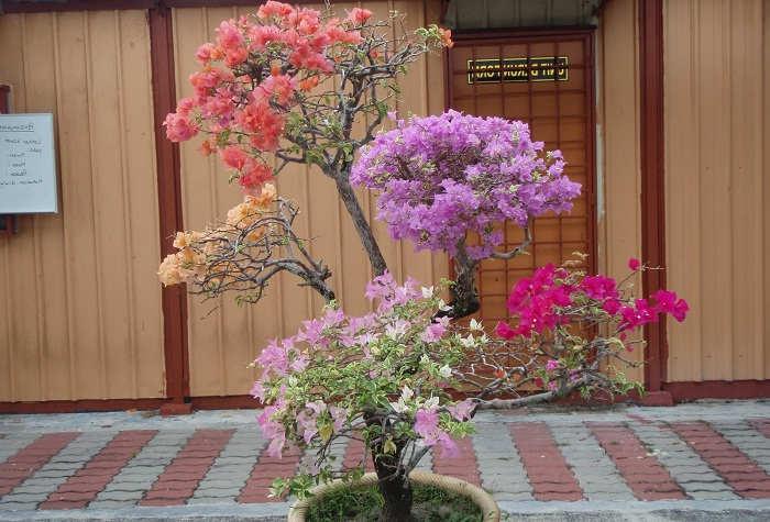 tanaman bunga kertas