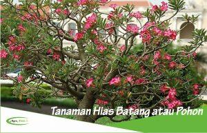 3 Contoh Tanaman Hias Pohon atau Batang Sebagai Hiasan Interior dan Eksterior Rumah