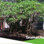 tanaman hias untuk akar