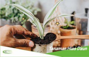 5 Contoh Tanaman Hias Daun Sebagai Hiasan Interior dan Eksterior Rumah