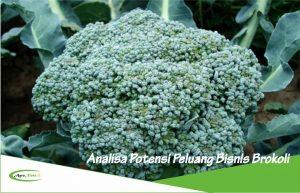 Analisa Potensi Peluang Bisnis dan Investasi Tanaman Brokoli