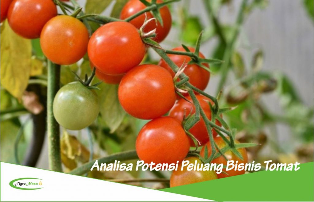 Peluang usaha budidaya tomat