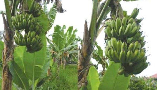 pohon pisang barangan