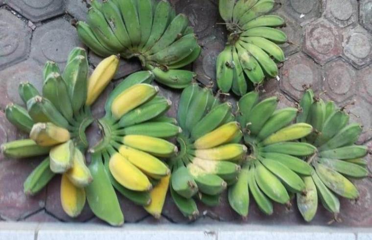 Jenis buah dan pohon pisang kepok