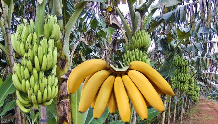 jenis pisang ambon
